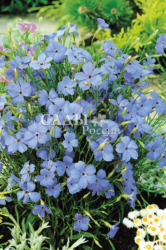 Вискария Голубой ангелОднолетники<br>Небесная роса. Это старинное садовое растение, как дар<br>небесный для любого цветника или мавританского газона.<br>