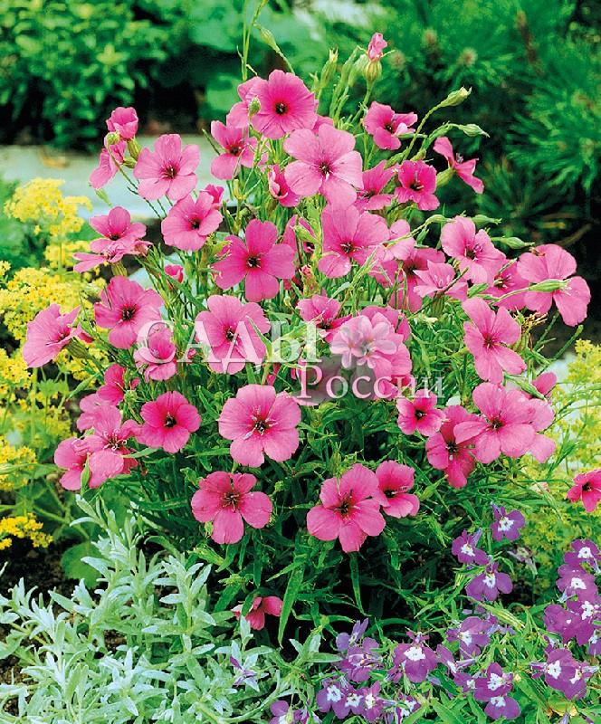 Вискария Розовый ангелОднолетники<br>Цветёт с начала июля до осени.<br>