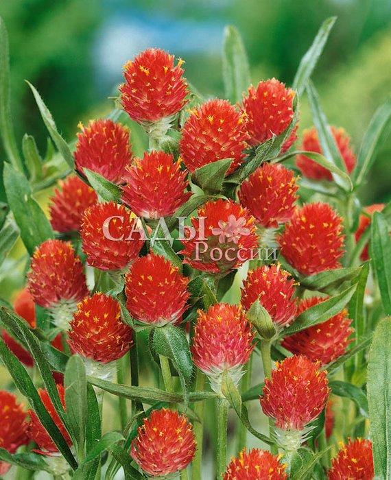 Гомфрена Земляничная полянаСухоцветы<br>Амарантово-красные соцветия до 4—5 см в диаметре удивительно похожи на спелые ягоды земляники, привлекательны<br>и «аппетитны» в любое время года.<br>