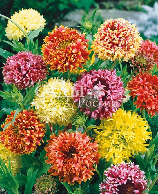Гайлардия Лоренца наборОднолетники<br>Весёлое попурри лимонно-жёлтых, карминных, кораллово-красных и лососево-розовых плотных махровых шаров — великолепное украшение сада<br>и отличная срезка.<br>
