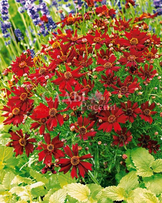 Кореопсис АмулетОднолетники<br>Янтарная россыпь в<br>карминно-красном шёлке лепестков. В народе это нежное растение ласково называют ленок.<br>