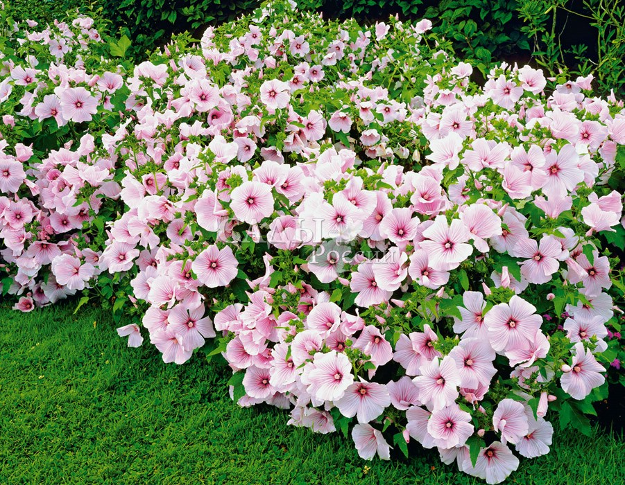 Лаватера розовая королева