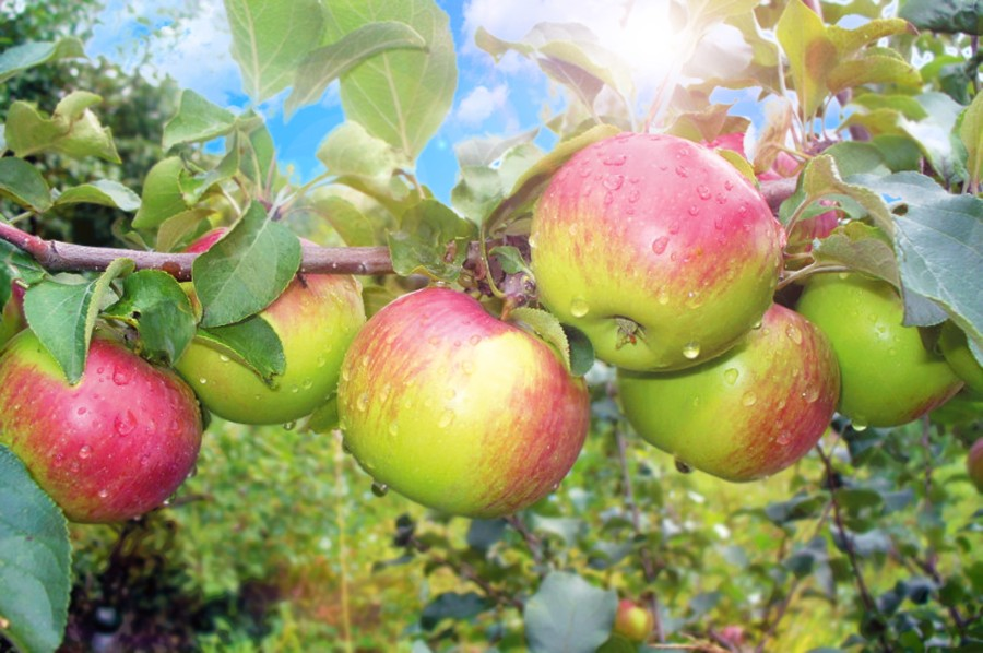 Яблоня УэлсиЯблоня Зимние сорта<br>Плоды довольно<br>крупные массой 160 г, симметричные, оранжево-жёлтые,<br>почти сплошь покрытые сильным размытым румянцем.<br>