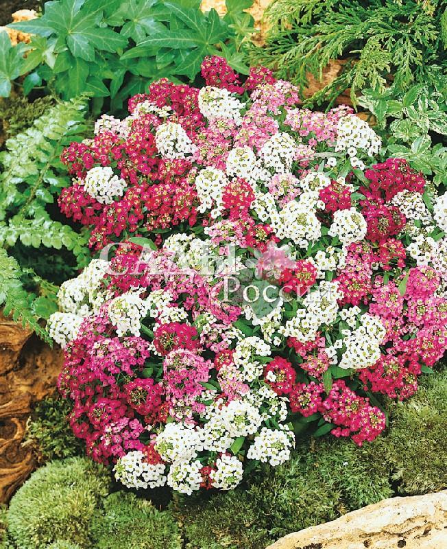 Лобулярия Магические круги наборОднолетники<br>Богатые оттенки наполнят свежестью любой уголок сада, хороши<br>в окантовке клумб, бордюров и рабаток. Компактный кустик с<br>медовым ароматом цветков. Высота 15 см.<br>