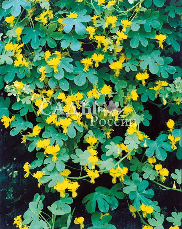 Настурция Иноземная ЖёлтаяОднолетники<br>Самая<br>оригинальная из всех видов настурции, встречается под названием канарская лиана.<br>