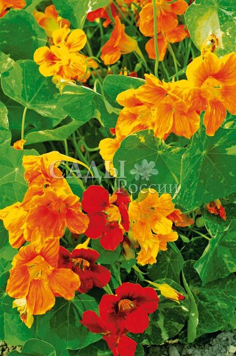 Настурция Родом из АфрикиОднолетники<br>Вьющееся растение с «мраморными» листьями и крупными, до 5<br>см в диаметре, цветками африканских тропических колоритов.<br>