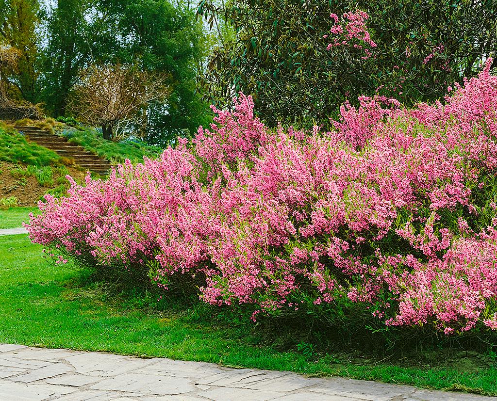 Миндаль Розовая пена