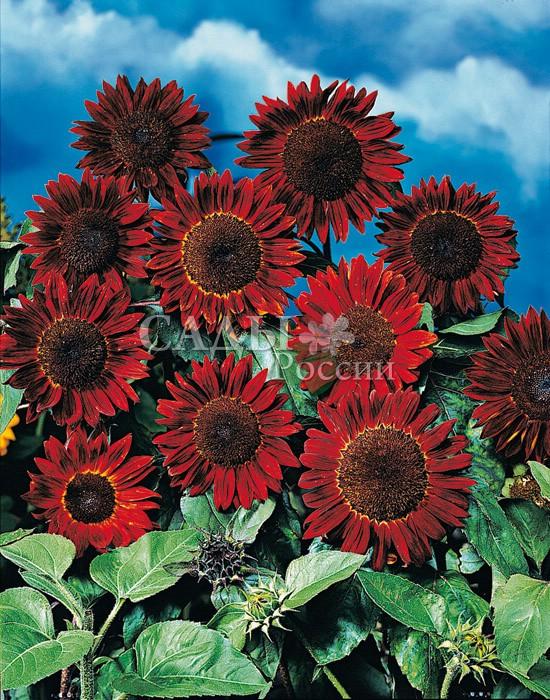 Подсолнух Прадо красный декоративныйОднолетники<br>Великолепный яркий красавец-подсолнечник, напоминающий своими<br>пламенно-красными соцветиями с тёмно-коричневым, почти<br>чёрным центром картину полного солнечного затмения.<br>