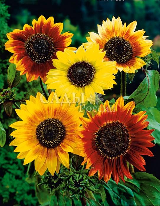 Подсолнух Формула любви декоративныйОднолетники<br>Влюблённый в солнце цветок получил от своего небесного покровителя богатейшую гамму красивых оттенков красного,<br>оранжевого и жёлтого.<br>