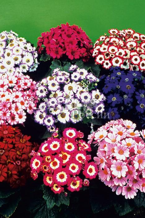Цинерария Шедевр гибридная наборКомнатные растения<br>Крупноцветковые гибриды самых ярких и чистых окрасок.<br>