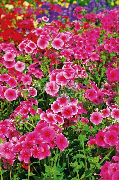 Флокс БриллиантОднолетники<br>Этот крупноцветковый сорт — настоящее украшение сада.<br>