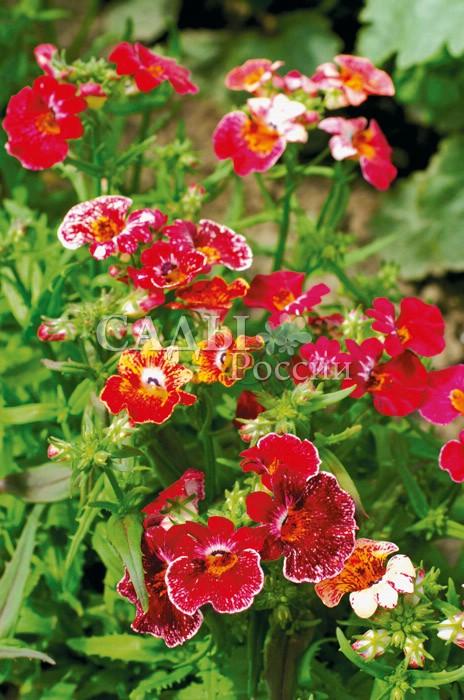 Немезия Красная Глазурь наборОднолетники<br>Серия крупноцветковых низкорослых гибридов с диаметром цветка 2,5 см.<br>