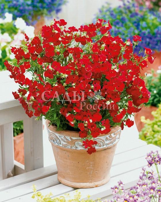 Немезия Огненный КорольОднолетники<br>Потрясающе эффектный крупноцветковый гибрид с<br>огненно-красными цветками.<br>