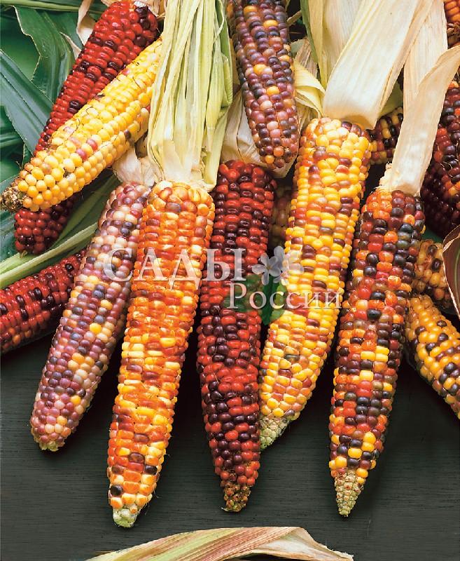 Кукуруза Яркие одёжки декоративнаяОднолетники<br>Порадуют<br>пёстрыми початками с красными, оранжевыми, синими и<br>жёлтыми семенами.<br>