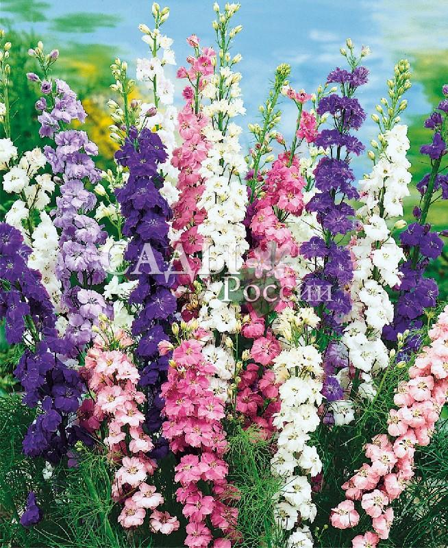 Дельфиниум Высокий наборОднолетники<br>Фантастическая красота великолепных лилово-розовых оттенков.<br>