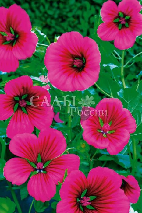 Малопа Карминная розаОднолетники<br>Пышное,<br>очень эффектное растение с мощными ветвистыми стеблями<br>и множеством крупных, до 9 см в диаметре, прелестных<br>карминно-розовых воронковидных цветков на длинных тонких<br>цветоножках.<br>