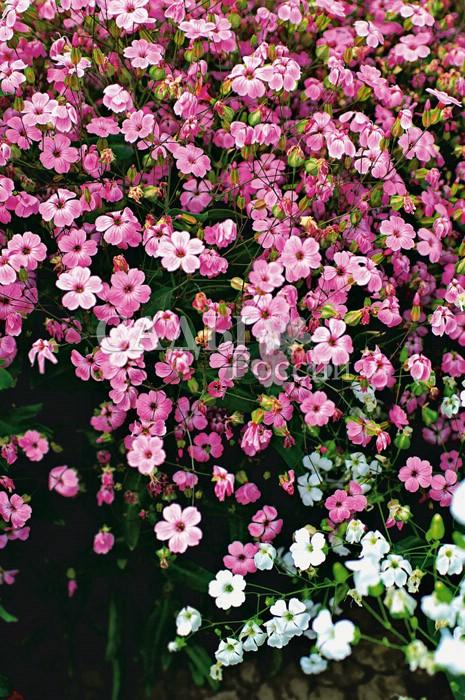 Сапонария Розовая прелестьОднолетники<br>Несправедливо забытое изящное и нежное, как утренняя дымка,<br>великолепное садовое растение.<br>