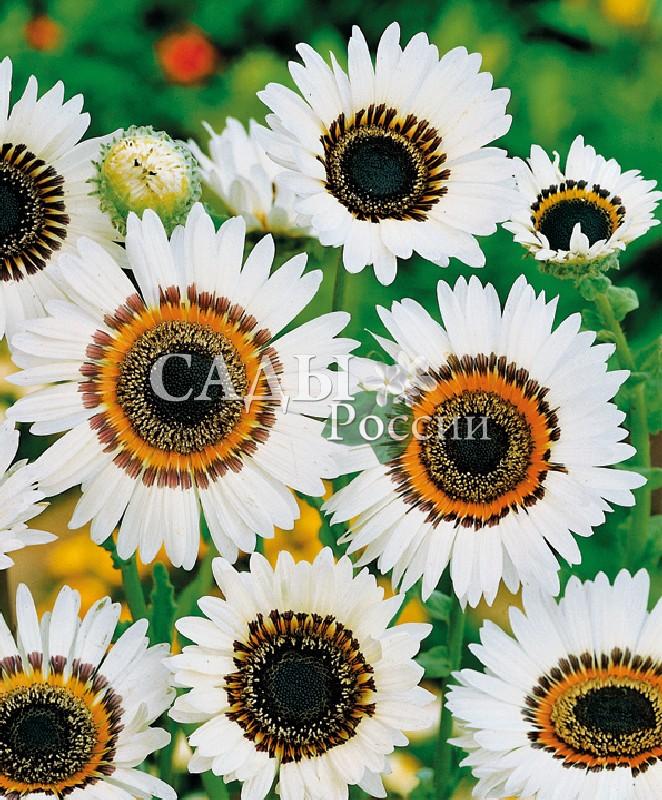 Венидиум Пышный белыйОднолетники<br>Очень<br>эффектное растение с крупными ромашковидными соцветиями<br>до 8 см в диаметре в светлой нежной зелени ажурных глубокорассечённых по краям листьев.<br>