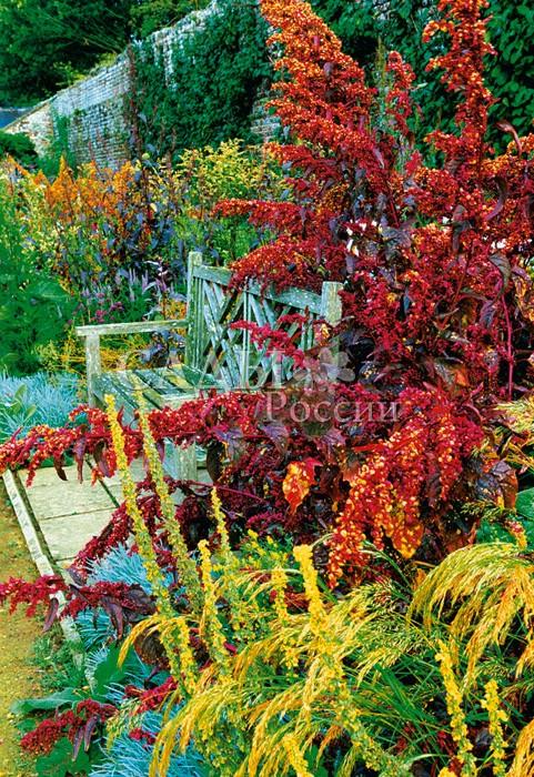Атриплекс садовый Красное ПероОднолетники<br>На редкость<br>изысканное растение, несмотря на гигантские размеры этого<br>«пёрышка».<br>