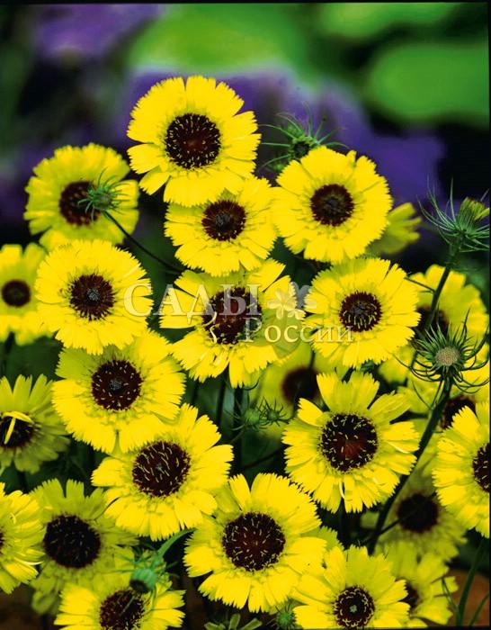 Толпис БородатыйОднолетники<br>Лучезарное солнышко, такое редкое, к сожалению, в наших садах.<br>