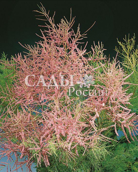 Тамарикс ИзящныйДекоративные деревья, кустарники, лианы<br>Кустарник высотой до 4-х метров, исключительно зимостоек. Листья изящные, мелкие – от <br>0,2 до 0,4 см (растение напоминает хвойное деревце).<br>