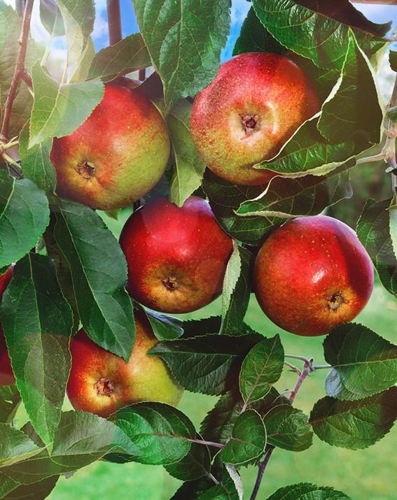 Яблоня ЮжноуральскоеЯблоня Зимние сорта<br>Дерево средней силы роста с округлой кроной, с высокой<br>зимостойкостью и урожайностью.<br>