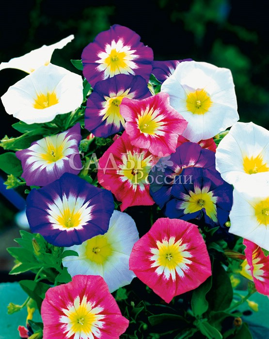 Вьюнок Сияние утра наборЛианы<br>Разноцветные граммофоны цветков отражают радужные краски летнего<br>утра, дарят надежду на успех и удачу.<br>