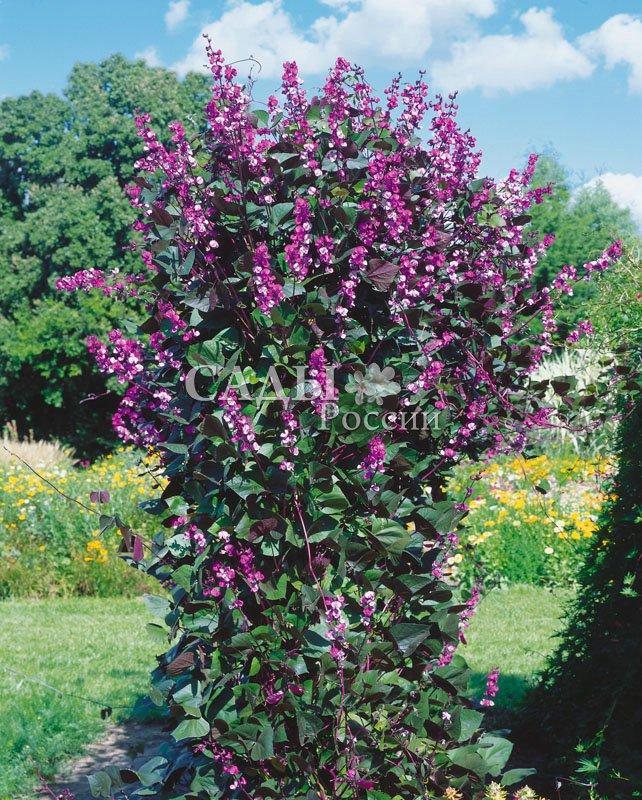 ДолихосЛианы<br>Гиацинтовые бобы — мощная шикарная лиана с пышной зеленью листьев и кистями аметистовых изящных<br>соцветий.<br>