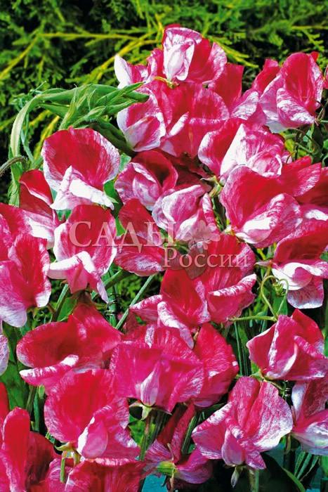 Душистый горошек АмерикаЛианы<br>Неповторимый<br>изысканный сорт с очень крупными цветками оригинальной двухцветной окраски. Лепестки розовые в пёструю красную полоску со<br>слегка гофрированным краем. Растение сильнорослое.<br>