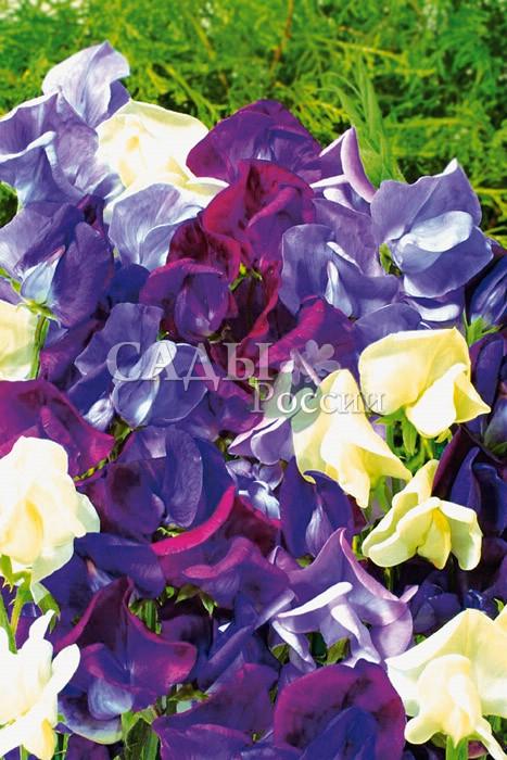 Душистый горошек Морская пенаЛианы<br>Морские<br>мотивы. Очень крупные изящные цветки с лепестками голубых,<br>синих оттенков и цвета морской пены. <br>Высота 2—2,5 м.<br>