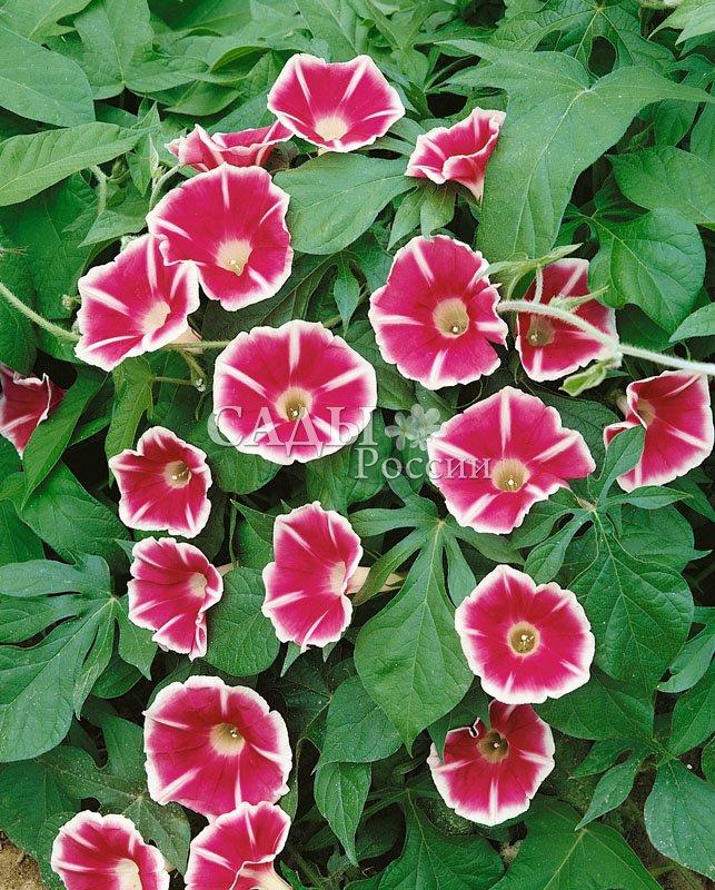 Ипомея РозитаЛианы<br>Красива, как<br>розочка, «малина со сливками». Цветки алые, малиново-розовые с белой каймой и радиальными стрелками.<br>