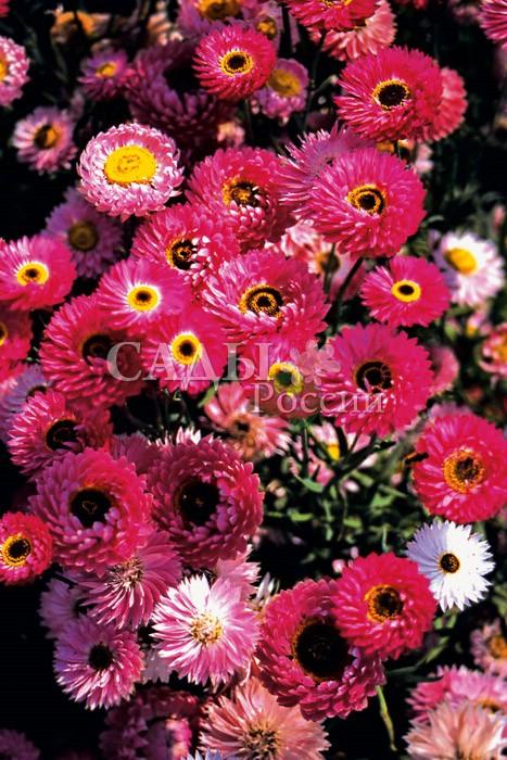 Гелиптерум ГолиафСухоцветы<br>Все оттенки розового, от нежных светло-фиалковых до ярких коралловых, в<br>крупных соцветиях диаметром 4—6 см.<br>