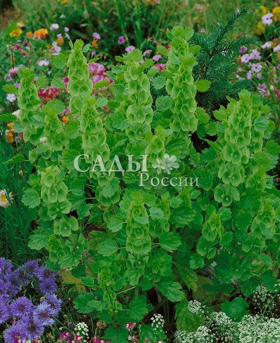 Молюцелла Ирландские колокольчикиСухоцветы<br>Оливковые стройные соцветия из колокольчатых чашечек,<br>плотно прикреплённых к стеблю, с мелкими белыми цветочками внутри настолько милы и изящны, что не заметить<br>их просто невозможно.<br>