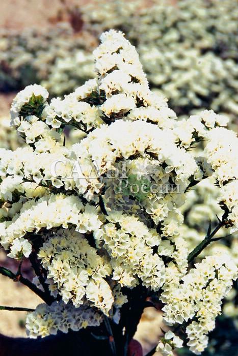 Статица АйсбергСухоцветы<br>Белоснежная лавина пышных и плотных соцветий.<br>