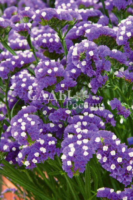 Статица Синяя полночьСухоцветы<br>Выразительная игра контрастов. Сапфировая синева соцветий,<br>усеянная мелкими жемчужными звёздочками.<br>