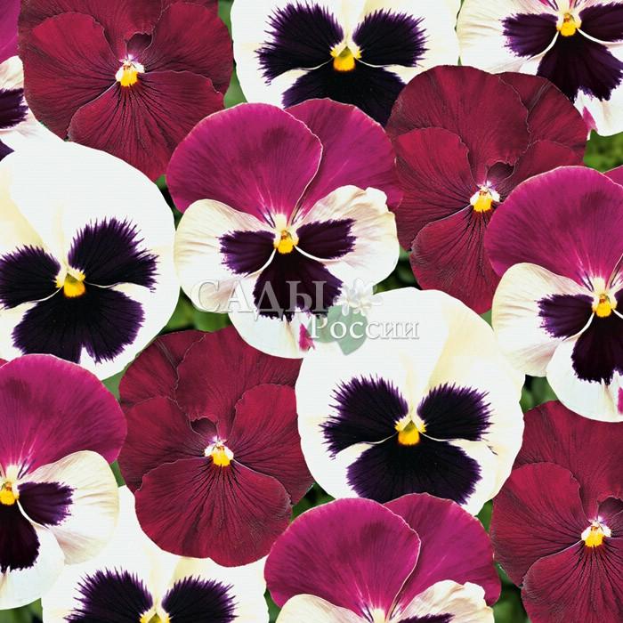 Виола Матрица Малиновый пломбир наборДвулетники<br>Очень нарядные сочно-малиновые и ванильно-сливочные цветки с чёрным пятном в невероятно гармоничном<br>контрасте оттенков.<br>