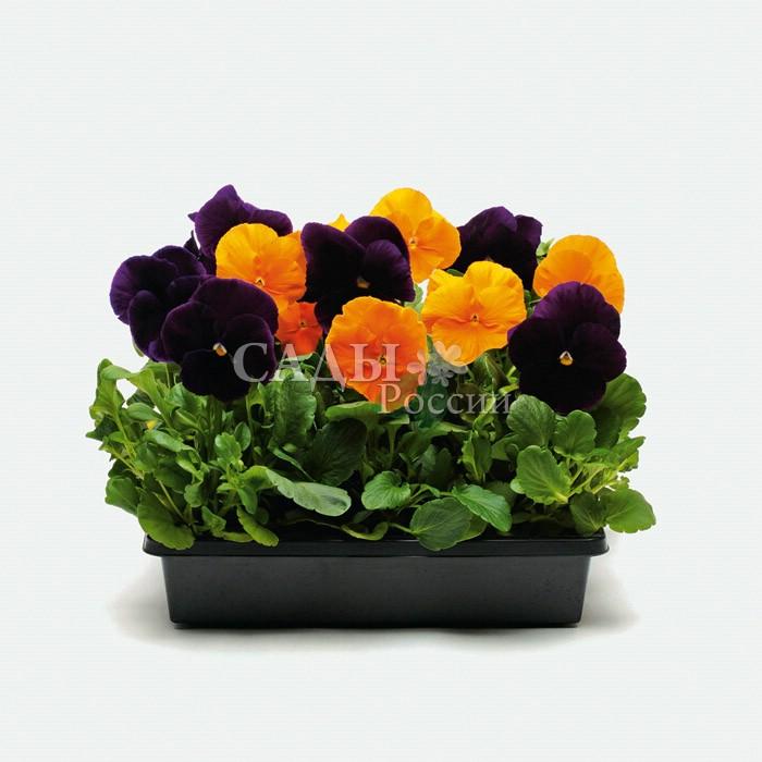 Виола Матрица Хэллоуин наборДвулетники<br>Праздничный ярко-контрастный огненно-солнечный оранжевый с<br>бархатным чернильно-фиолетовым.<br>