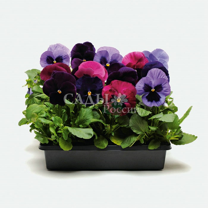 Виола Матрица Аметист наборДвулетники<br>Очарование аметистовых, лиловых, пурпурно-розовых и тёмно-вишнёвых насыщенных окрасок.<br>