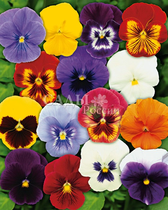 Виола Панола Цветной наборДвулетники<br>Красочное маскарадное шоу, яркое и очень выразительное.<br>