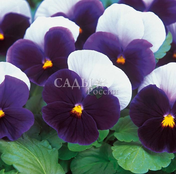 Виола Панола СветлячокДвулетники<br>Цветок<br>с ярким золотисто-жёлтым лучом в пурпурно-фиолетовых и<br>лиловых лепестках.<br>