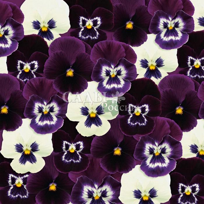 Виола Панола Ежевичный пломбир наборДвулетники<br>Потрясающе эффектный контрастный бело-пурпурно-синий.<br>
