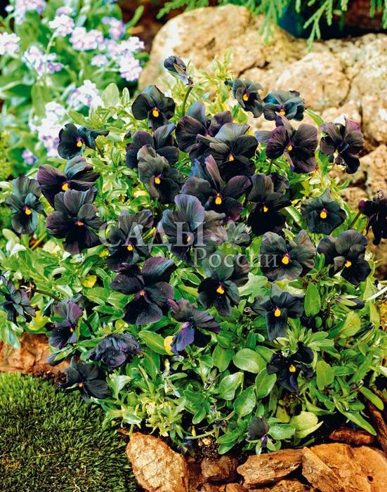 Виола Кристалл чёрныйДвулетники<br>Насыщенный до черноты сине-фиолетовый бархат лепестков с<br>контрастным золотисто-жёлтым глазком.<br>
