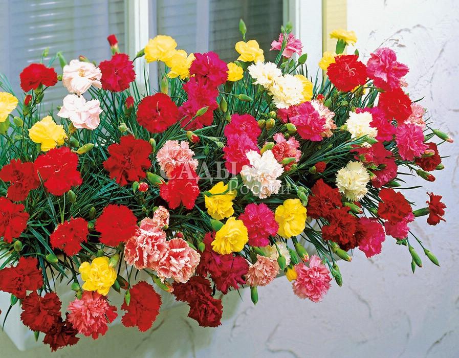 Гвоздика Триумф набор садоваяДвулетники<br>Двулетнее растение. Разноцветный фейерверк Победы. Цветки крупные махровые на<br>сильных цветоносах.<br>