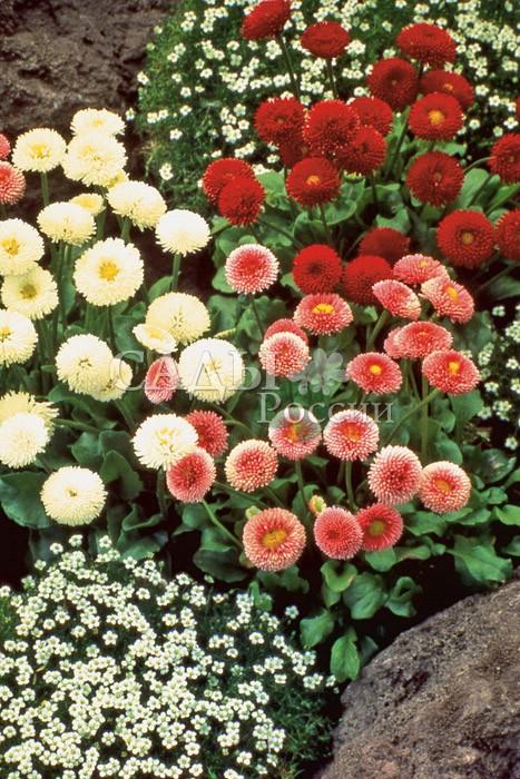 Маргаритка Яхонты наборДвулетники<br>Сказочные<br>самоцветы, яркие карминные, вишнёвые и кораллово-розовые<br>оттенки в сочетании с белыми жемчужными.<br>