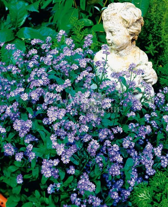 Незабудка альпийская Голубой шарДвулетники<br>Незабудки — это любовь с первого взгляда, стоит увидеть их один<br>только раз, чтобы навсегда остаться в плену небесной синевы<br>этого чудесного творения природы.<br>