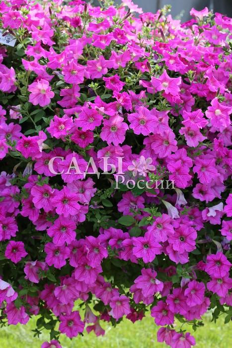 Петуния Бриллиант Розовое ВиноОднолетники<br>Завораживает изысканностью розовых оттенков, лёгких, свежих,<br>головокружительных.<br>