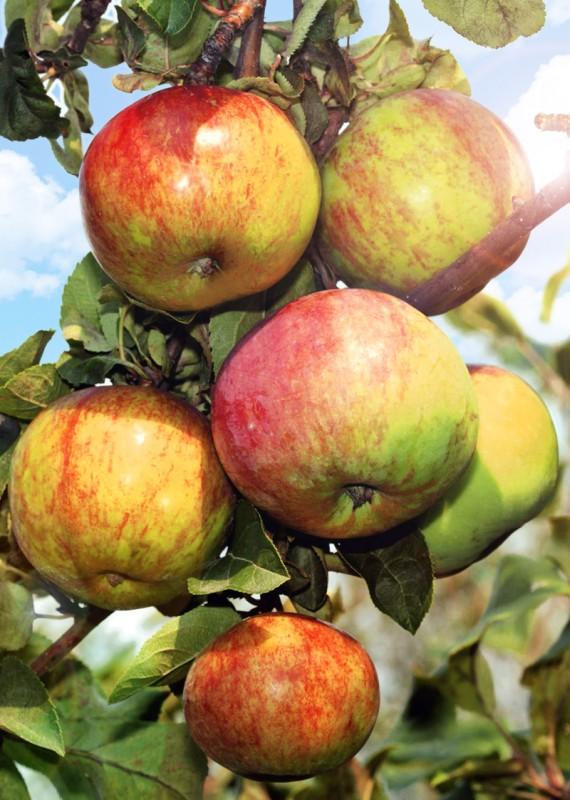 Яблоня ПервоуральскоеЯблоня Зимние сорта<br>Этот сорт — настоящая находка для садовода.<br>