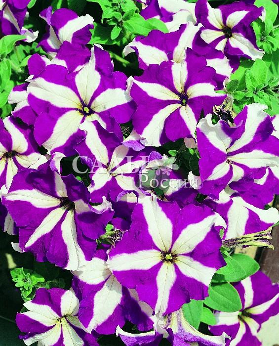 Петуния Браво Фиолетовая звезда крупноцветковаяОднолетники<br>Новая уникальная серия гибридных крупноцветковых<br>петуний.<br>