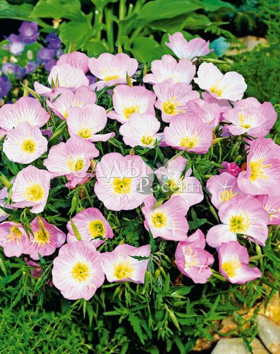 Энотера Шелковистая орхидно-розоваяДвулетники<br>Богиня утренней зари, волнующая нежностью<br>прелестных открытых чашевидных цветков с шелковистыми<br>орхидно-розовыми лепестками и лучистым солнечным центром.<br>