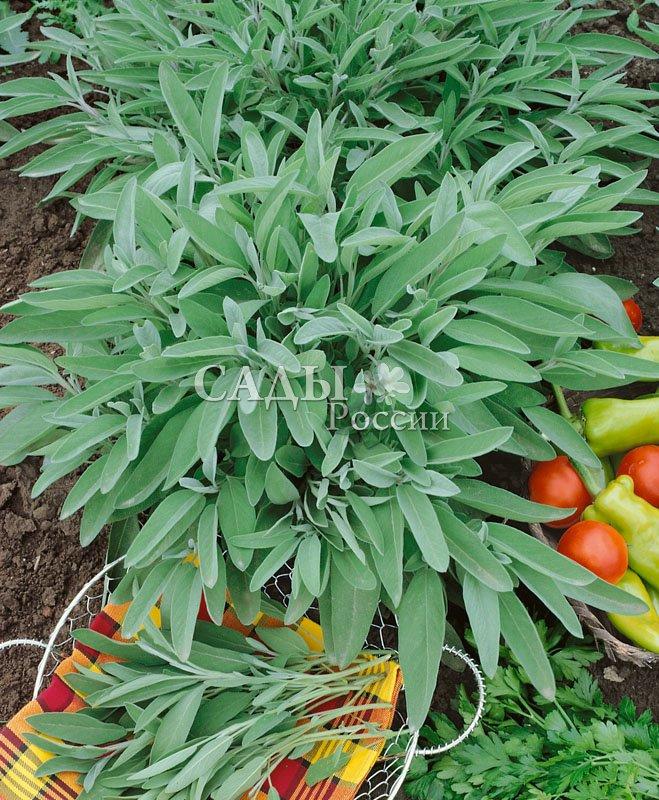 Шалфей ЛекарственныйАптекарский огород<br>Цветок<br>римской богини здоровья, успеха и процветания.<br>